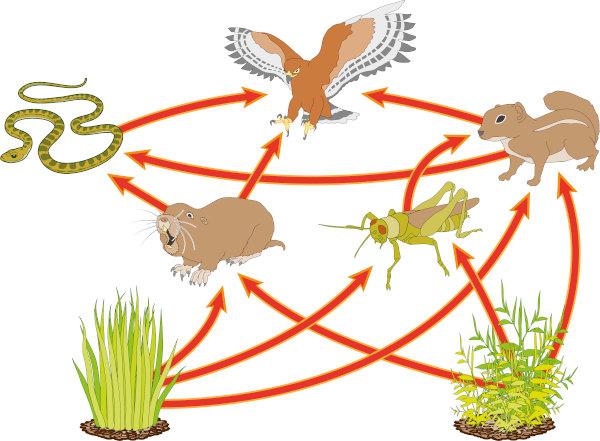Nas teias alimentares temos várias cadeias alimentares conectadas.