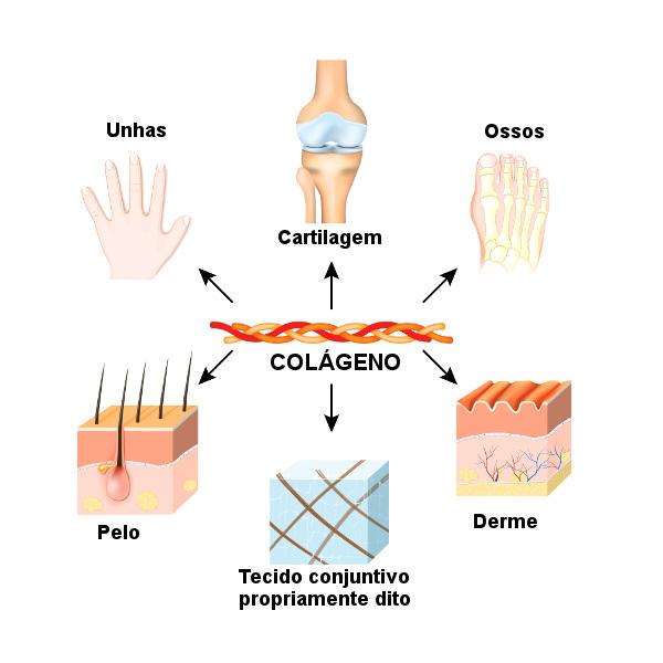O colágeno é um componente importante de vários tecidos, nos quais contribui para a integridade estrutural deles.