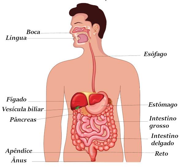 Observe os órgãos que fazem parte do sistema digestório.