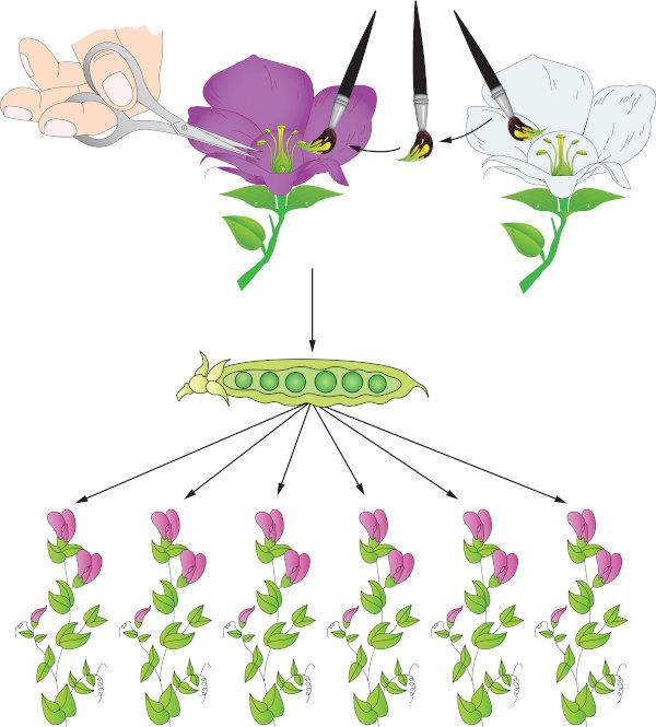 Mendel fez vários cruzamentos e analisou diferentes características das ervilhas em seu famoso trabalho.