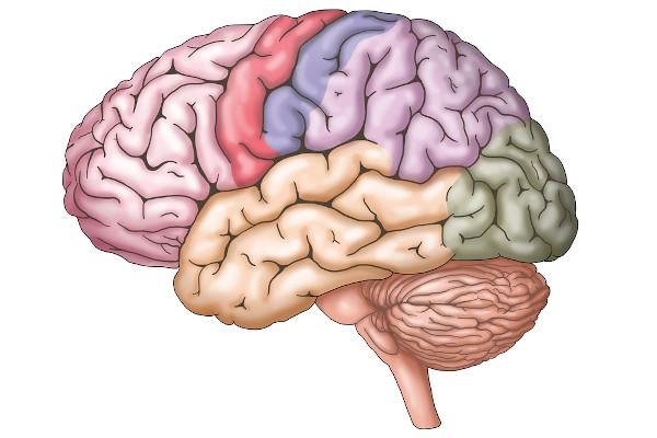 O encéfalo é um componente do sistema nervoso central, bem como a medula espinal.
