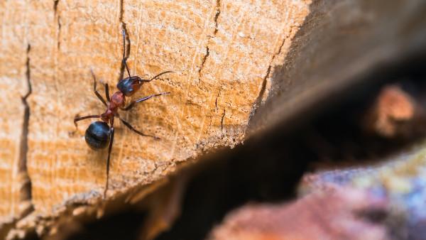 A substância expelida na picada da formiga contém ácido fórmico, substância do grupo ácido carboxílico.