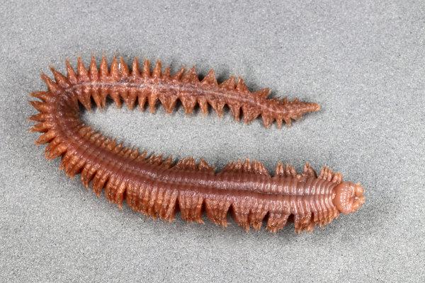 Poliquetas são encontrados em ambiente marinho e apresentam várias cerdas.