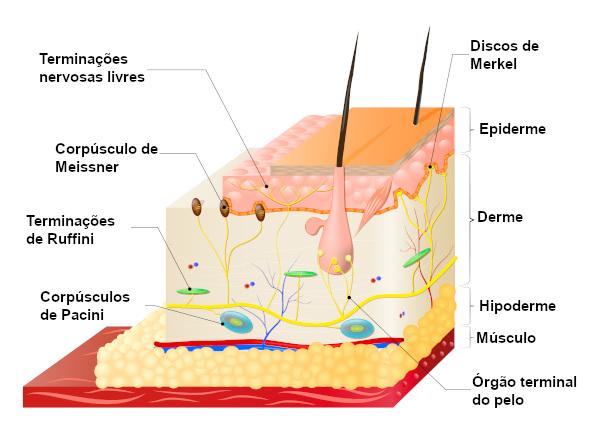 Representação dos receptores táteis presentes na pele humana.