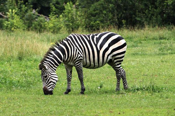 A zebra é um exemplo de animal herbívoro.