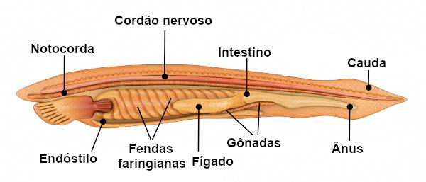 Observe as principais características dos cordados.