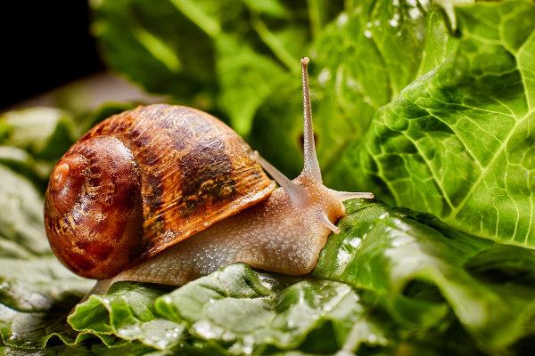 Caracóis são moluscos gastrópodes.