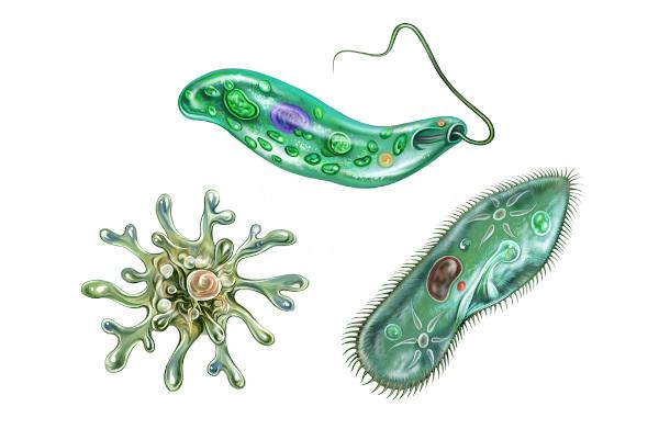Algas e protozoários são chamados de protistas.
