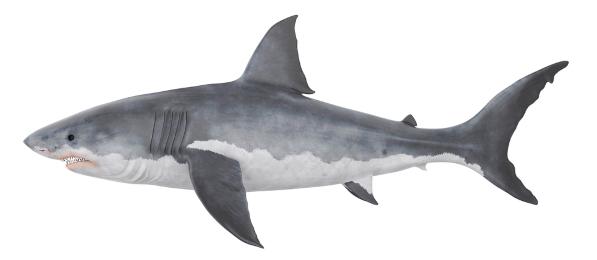 Na figura é possível notar algumas características dos peixes cartilaginosos: boca ventral e ausência de opérculo.