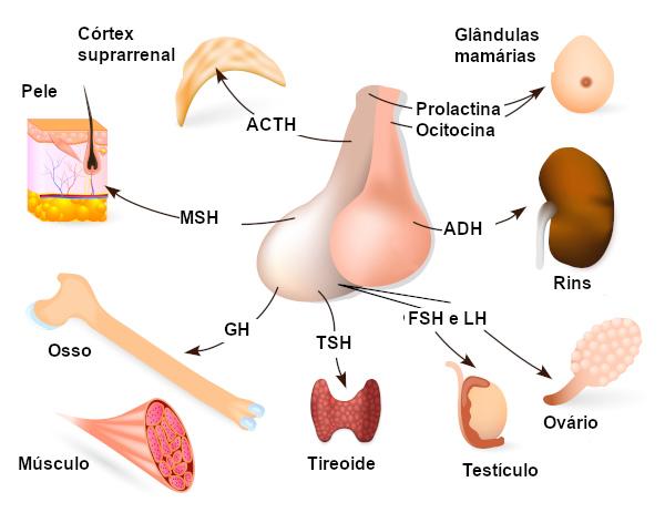 Na imagem, é possível observar os hormônios secretados pela hipófise e onde eles atuam.
