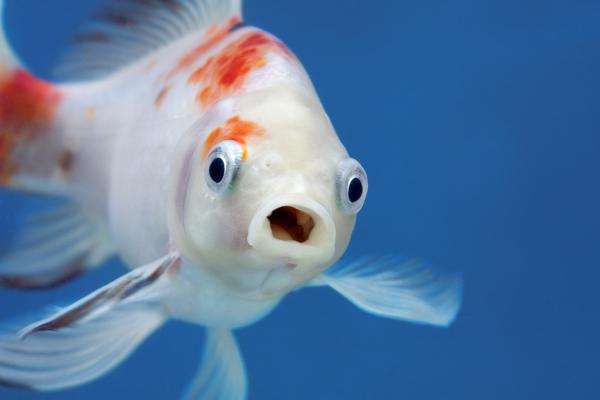 Os peixes são animais de hábitos aquáticos que apresentam nadadeiras e respiração, na maioria dos casos, branquial.