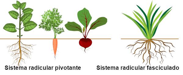 Observe a diferença entre o sistema radicular pivotante e o fasciculado.
