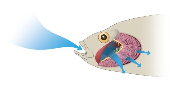 A movimentação conjunta do opérculo e da boca ajuda a garantir que a água atinja as brânquias.
