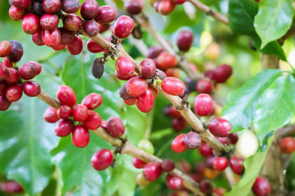 O café é o carro-chefe da produção agrícola no Espírito Santo.