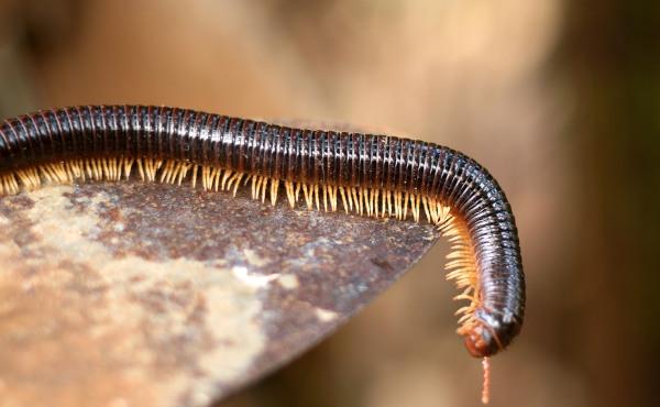 Os diplópodes são animais terrestres encontrados, geralmente, em locais de pouca luz, como embaixo de troncos.