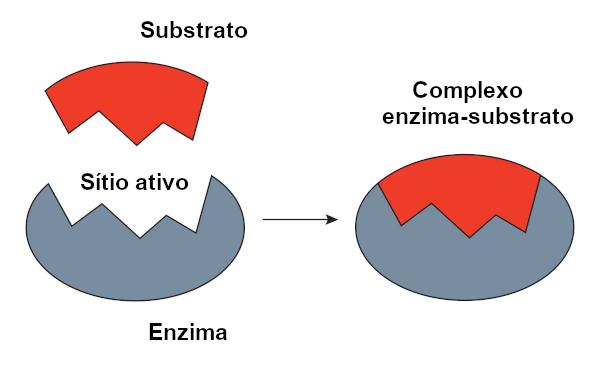 O modelo chave-fechadura considera que as enzimas e substratos apresentam um encaixe perfeito, como uma chave e uma fechadura.