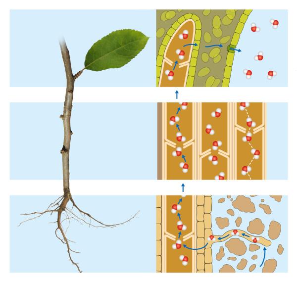 A transpiração nos vegetais está diretamente relacionada com a movimentação da seiva bruta.