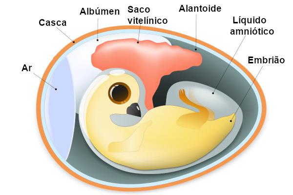 Observe a estrutura do ovo amniótico e alguns dos anexos embrionários.