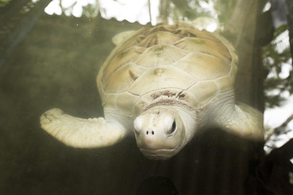 Na figura acima, é possível observar uma tartaruga albina.