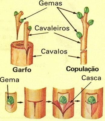 Vegetativa o asexual definition