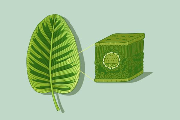 A folha é um órgão vegetal relacionado, entre outras funções, com o processo de fotossíntese.