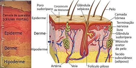 Camadas da pele: epiderme, derme e hipoderme