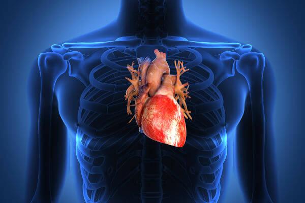 O coração é o órgão responsável por garantir que o sangue seja levado para as diversas partes do corpo.