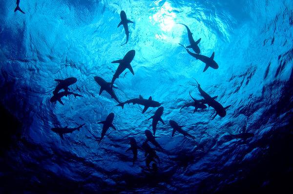 Os tubarões são peixes do grupo dos condrictes.