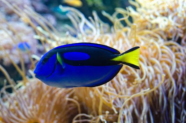Dory é um peixe conhecido como cirugião-paleta ou tang azul.