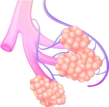 Ilustração de uma porção do sistema respiratório