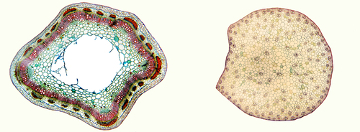 No caule de eudicotiledônea, os feixes apresentam-se dispostos em anel, enquanto nas monocotiledôneas os feixes aparecem dispostos aleatoriamente
