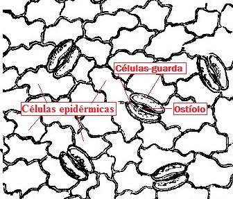 Observe o esquema da epiderme foliar com suas células epidérmicas básicas e as células-guarda