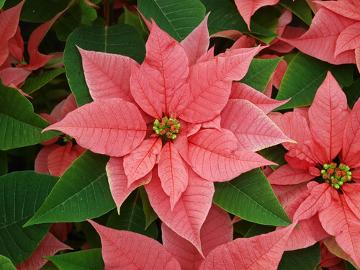 Essa planta é bastante usada em decorações de natal, apesar de ser tóxica