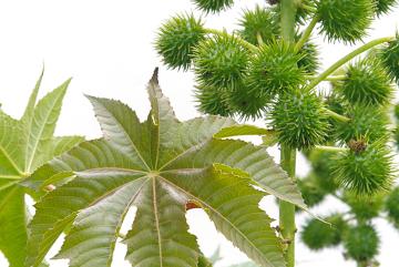 A ingestão de sementes de mamona pode levar à morte