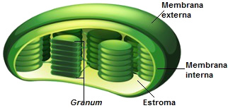 Observe a estrutura para identificar o nome da organela