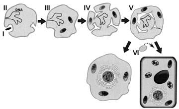 O esquema acima ilustra o processo de endossimbiose