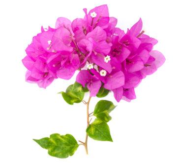 As partes rosas da Bougainvillea são brácteas, apesar de serem semelhantes a pétalas