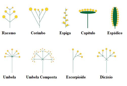 Observe a ilustração de diferentes tipos de inflorescência