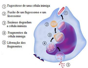 Observe as etapas do processo de fagocitose