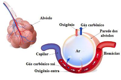 A hematose é um processo de trocas gasosas que ocorre nos alvéolos