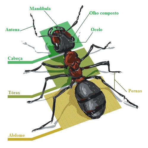 Observe as principais partes do corpo de um inseto.