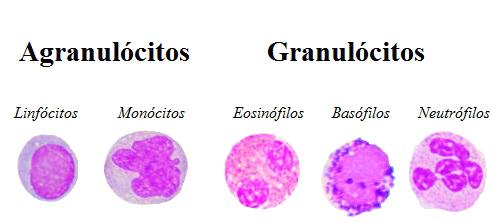 Observe os diferentes tipos de leucócitos existentes em nosso organismo