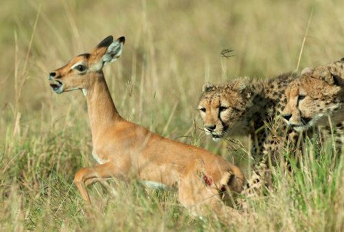 Os guepardos, ao se alimentarem de suas presas, estão realizando predatismo