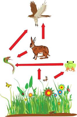 Em uma teia alimentar, um mesmo organismo pode ocupar diferentes níveis tróficos