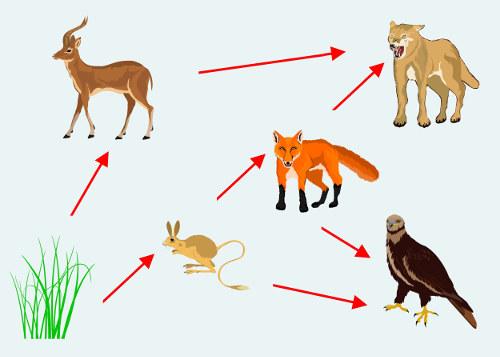 A teia alimentar é formada por várias cadeias alimentares interligadas