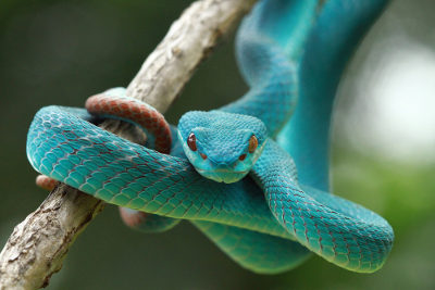 Serpentes são répteis conhecidos como lagartos sem patas
