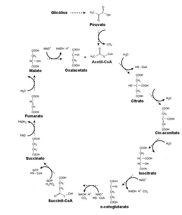 localização celular da glicose