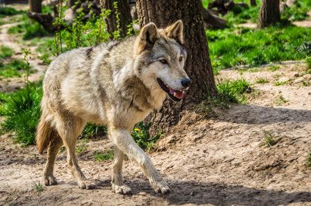 Lobo-cinzento era a espécie de mamífero mais amplamente distribuída no mundo