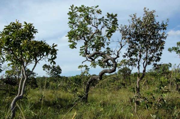 A vegetação do Cerrado é composta por árvores de troncos tortuosos e raízes profundas.