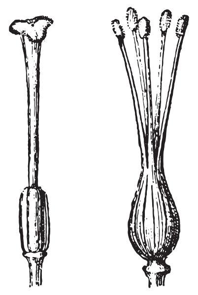 Na figura acima, é possível observar um carpelo simples e um gineceu formado por carpelos fusionados.